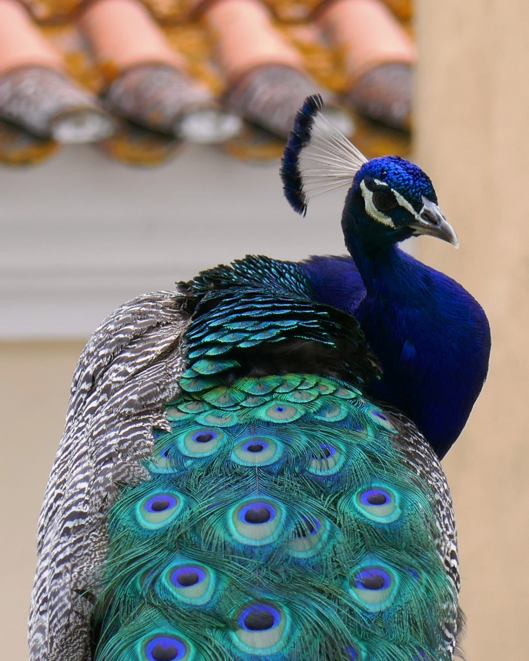 An iridescent peacock on the grounds of  Lisbon's São Jorge Castle, contrasts with a red tile roof.