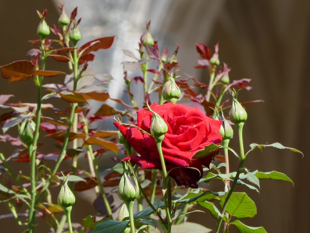 Roses so red they make your eyeballs vibrate, glowing in the sun after a little rain (with Gothic arches in soft focus in the background). Yum. At Batalha Monastery.