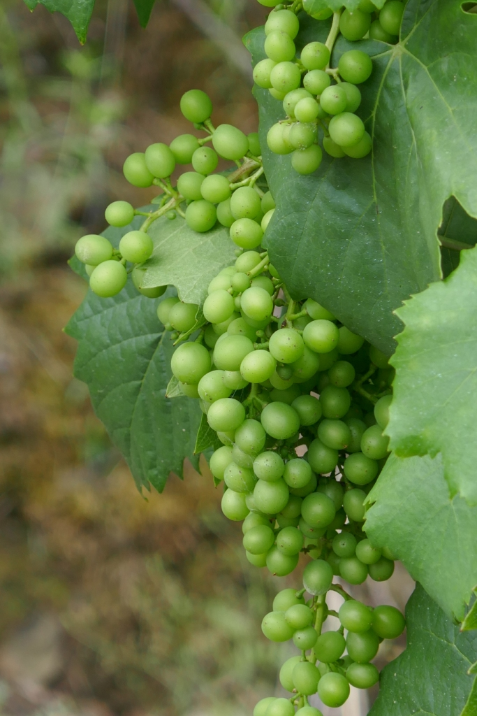Grapes on the vine at Quinta Santa Eufémia in the Douro Valley, destined to be port wine.
