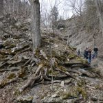 Cool Geology: Tree Meets Limestone, on Path to Cape Vesey Falls, Prince Edward County, Ontario